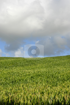 Field stock photo, Field of green corn in azores island by Rui Vale de Sousa