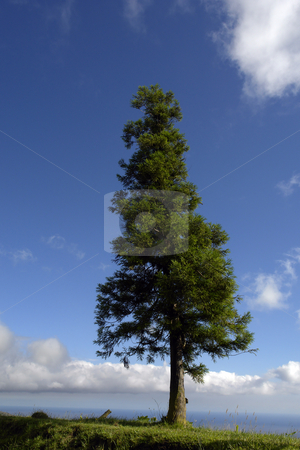 Tree stock photo, Tree at the coast in azores island by Rui Vale de Sousa