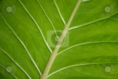 Lines stock photo, Leaf detail by Rui Vale de Sousa