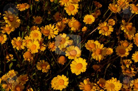 Yellow stock photo, Yellow flowers by Rui Vale de Sousa