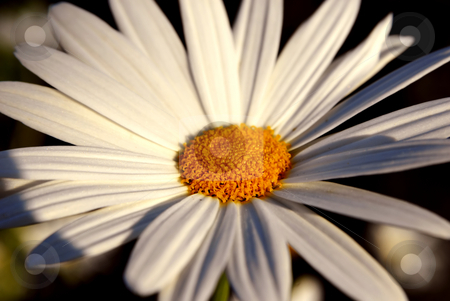 Daisy stock photo, A white daisy isolated on dark background by Rui Vale de Sousa