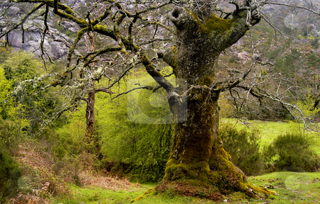 Forest stock photo, Wild landscape with an old tree in the north of Portugal by Rui Vale de Sousa
