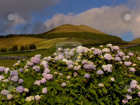 Flowers stock photo, Azores typical flowers at the island of Sao Miguel by Rui Vale de Sousa
