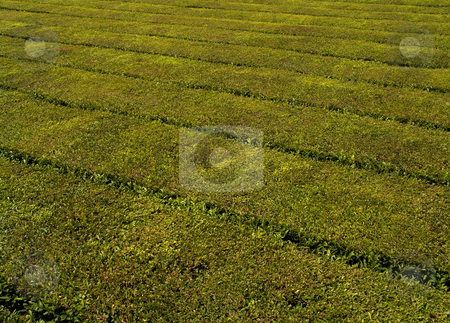 Tea stock photo, Tea plants by Rui Vale de Sousa