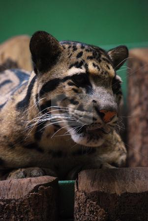 Jaguar stock photo,  by Sarka