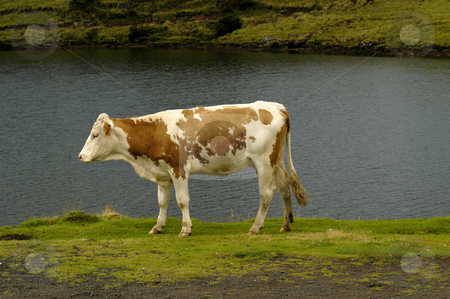Cow stock photo, A cow in the azores islands by Rui Vale de Sousa