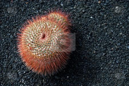 Cactus stock photo, Cactus details by Rui Vale de Sousa