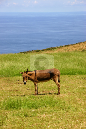 Donkey stock photo, Azores donkey at a farm on the coast by Rui Vale de Sousa