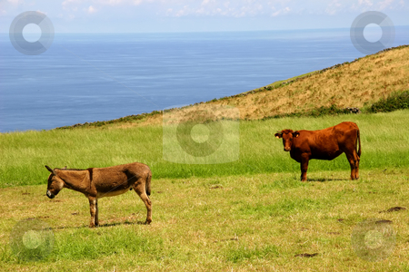 Animals stock photo, Farm animals at the coast by Rui Vale de Sousa