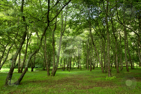 Trees stock photo, Path with trees in azores, s miguel island by Rui Vale de Sousa
