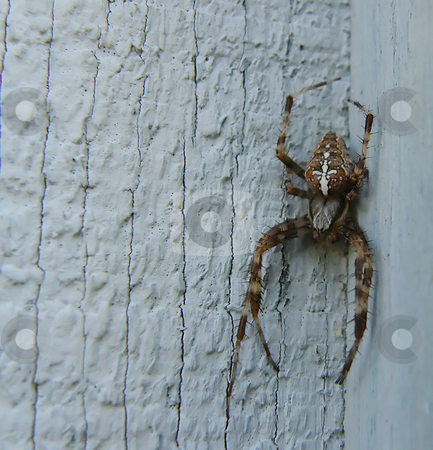 Orb Weaver  stock photo, Orb weaver- a medium sized colorful orb weaver on the side of a wooden shed. Orb weaver spiders are considered beneficial to humans by Dazz Lee Photography