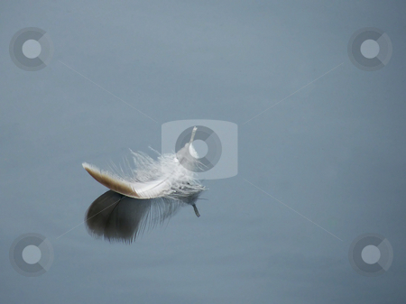 Floating White Feather stock photo, Floating White Feather, a white feather floating on surface of a pond. I think this is a white goose feather. by Dazz Lee Photography