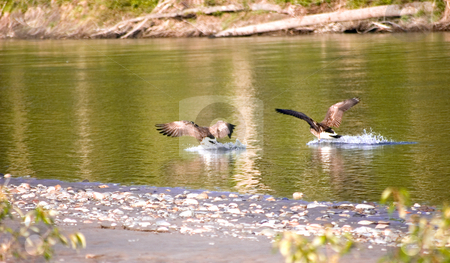 Two Canadian Geese Landing in Water stock photo, Two Canadian geese honkers are landing in a river for this beautiful wildlife photo. by Valerie Garner