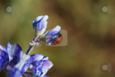 Ladybug on Flower stock photo, A red ladybug on a blue flower on a sunny day. by Denis Radovanovic
