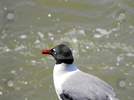 Laughing gull  stock photo, A laughing gull up close by Robert Brown