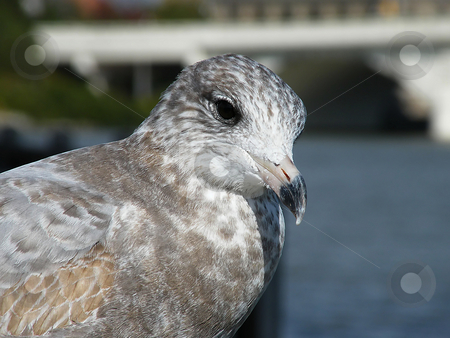 Seagull Close up stock photo, Seagull Close up in Downtown Toledo Ohio near the Maumee River. by Dazz Lee Photography