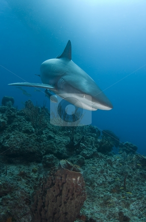 Reef Shark Close stock photo, A Caribbean Reef Shark (Carcharhinius perezi) swims over a coral reef in the Bahamas, under the shadow of a boat on the surface by A Cotton Photo