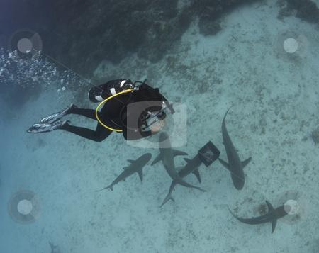 Diver Above Lemon Sharks stock photo, A scuba diver studies a school of Lemon Sharks (Negaprion brevirostris) circling bait. by A Cotton Photo