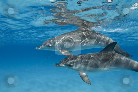 Rippled Dolphin Pair stock photo, The sun casts ripples from the surface onto an pair of Atlantic Spotted Dolphin (Stenella frontalis) in crystal clear Bahamian waters by A Cotton Photo