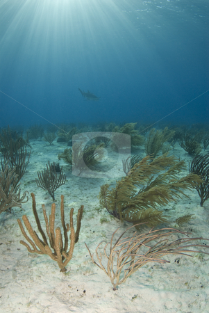 Soft Coral Seascape Portrait stock photo, Soft corals wave in the current as a shark passes in the distance while the sun from the surface shines rays through the water column. by A Cotton Photo