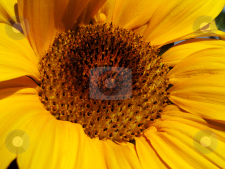 Sunflower stock photo, Close up view of the yellow sunflower by Rui Vale de Sousa