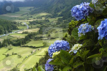 Azores stock photo, Azores flowers by Rui Vale de Sousa