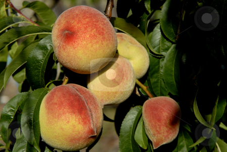 Peaches stock photo, Buch of colored peaches on a tree by Rui Vale de Sousa