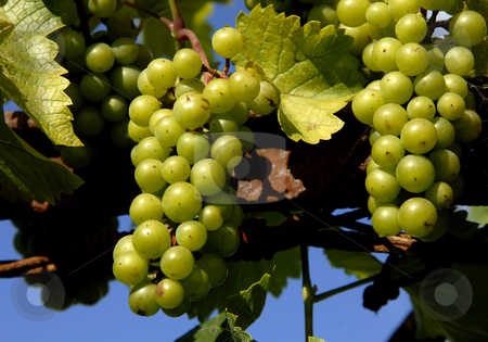 Grapes stock photo, Some green grapes in a vineyard detail by Rui Vale de Sousa