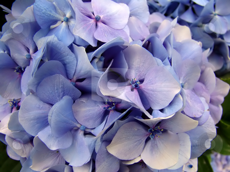 Hydrangea stock photo, Blue hydrangea detail, typical flower of the azores islands by Rui Vale de Sousa