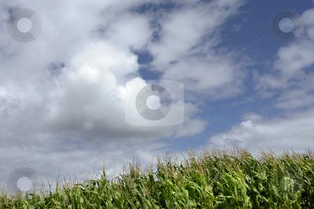 Corn stock photo, Field of green corn in azores island by Rui Vale de Sousa