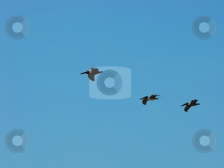 Pelicans stock photo, A group of brown pelicans, pelecanus occidentalis, flying in formation by Robert Brown