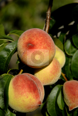 Peach stock photo, Some colored peachs in the green tree by Rui Vale de Sousa