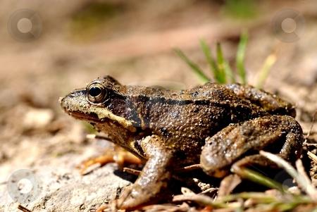 Brown frog, rana temporaria stock photo, Brown frog, close up, profile by Juraj Kovacik