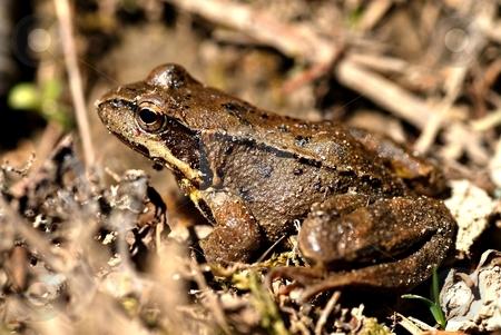 Brown frog, rana temporaria stock photo, Brown frog close up by Juraj Kovacik