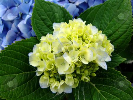 Flower stock photo, Azores natural flower by Rui Vale de Sousa