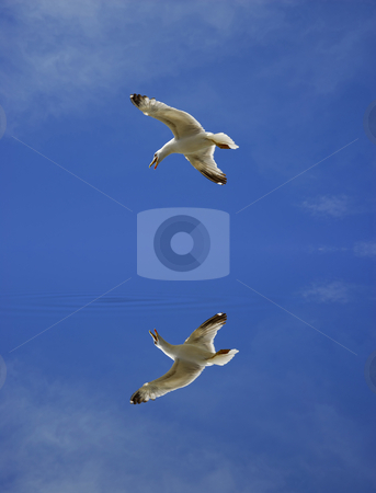 Fly stock photo, Young flying seagull and the sky, with digital reflection by Rui Vale de Sousa