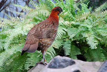 Pheasant stock photo,  by Sarka
