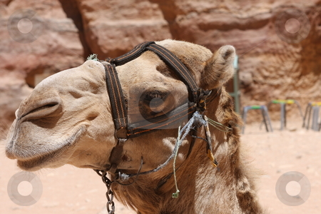 Camel at Petra Jordan waiting for tourists stock photo,  by Chris Budd