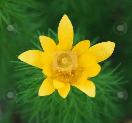 Yellow adonis stock photo, Yellow adonis against the green background by Leyla Akhundova