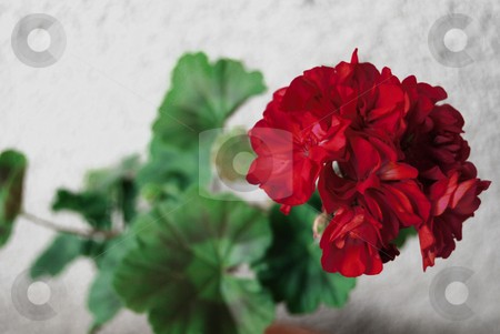 Geranium stock photo, Blooming geranium in the pot by Leyla Akhundova