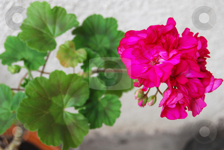 Geranium stock photo, Blooming geranium in the pot by Leyla Akhundova