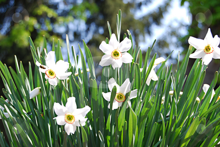 Daffodils under the sunlight stock photo, White daffodils in the sunlight by Leyla Akhundova