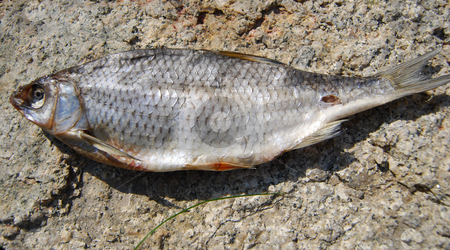 Dried fish stock photo, Close-up dried fish under sunlight on the stone by Leyla Akhundova
