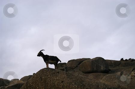 Goat stock photo, Wild goat on the mountain by Rui Vale de Sousa