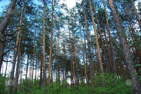 Pine trees stock photo, Piny wood. pine trees by Leyla Akhundova