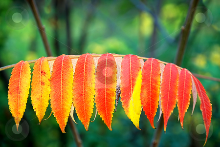 Autumn leaves stock photo, Autumn red and yellow leaves outdoor on tree by Julija Sapic