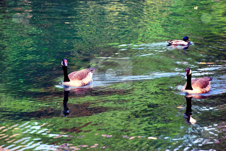 Birds on water stock photo, Three birds swimming over green water in park by Julija Sapic