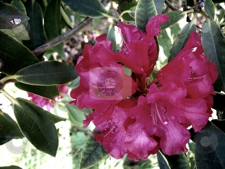 Rhododendron stock photo, Red Rhody in its prime bloom by Carol Grimes