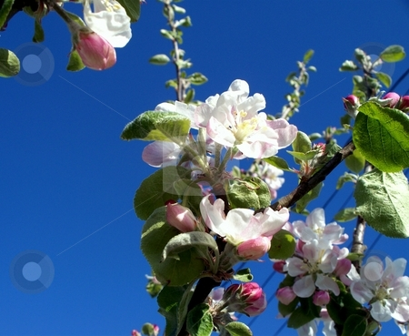 Apple Blossoms stock photo, Apple Blossoms in bloom on a apple tree in the Spring by Carol Grimes