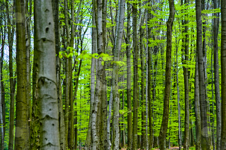 Tree trunks stock photo, Tree trunks in a forest by Jaime Pharr